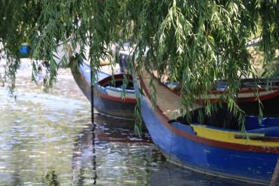 Bateiras avieiras debaixo dos salgueiros à espera de melhores dias e de água menos poluída na aldeia do Escaroupim.