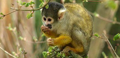 capuchin-327368_960_720
