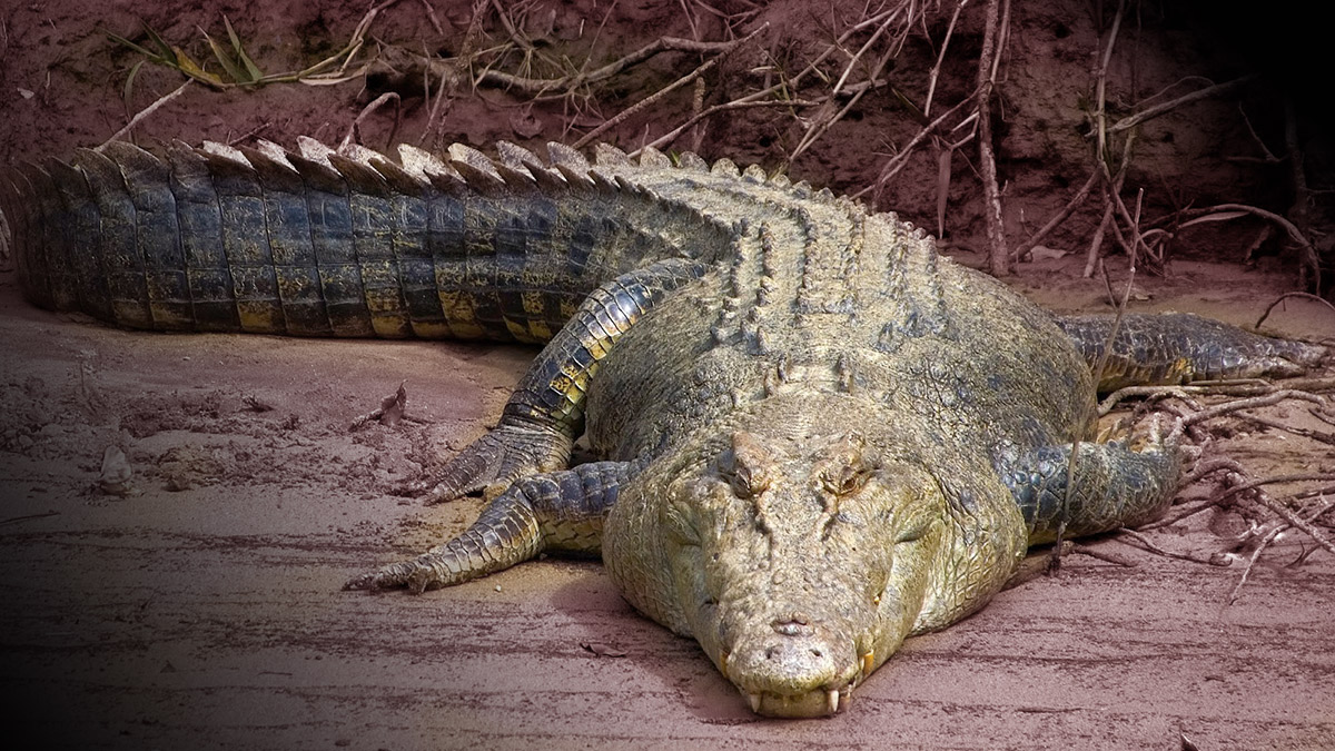 Lenda do crocodilo - Jornal Tornado